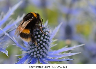 Bombus lucorum white-tailed bumble bee foraging on eryngium often referred to as Sea Holly. A magnet for bumblebees and various solitary species such as hoverflies and butterflies. It is a hardy plant