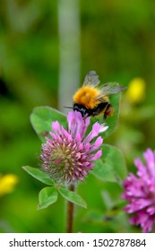 Bombus terrestris, the buff-tailed bumblebee or large earth bumblebee, raking on a pink clover flower