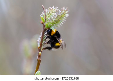 Bombus terrestris, the buff-tailed bumblebee or large earth bumblebee, is one of the most numerous bumblebee species in Europe. Buff-tailed Bumblebee (Bombus terrestris) on a willow flower.