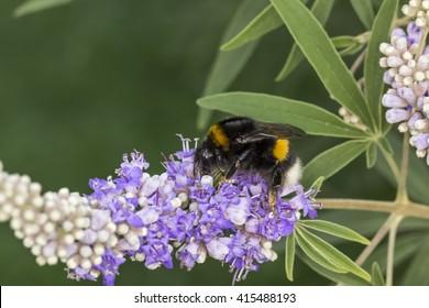 Bombus terrestris, Buff-tailed bumblebee, Large earth bumblebee on Vitex agnus-castus, Chaste tree, Chasteberry