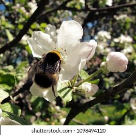 Bombus terrestris bumblebee foraging on apple tree (Malus domestica) flowers