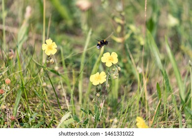 Bombus terrestris flying, the buff-tailed bumblebee, large earth bumblebee