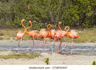 Bonaire, Flamingo doing a small fight over a water well. Flamingo's are widely seen on Bonaire