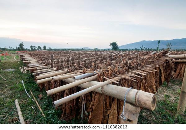 Bondowoso, East Java / Indonesia - 09282014: Classical way of drying tobacco in Bondowoso