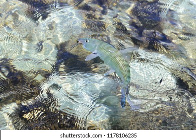 Bonefish in Belize