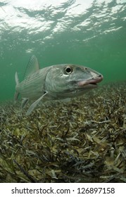 a bonefish is swimming in the grass flats ocean