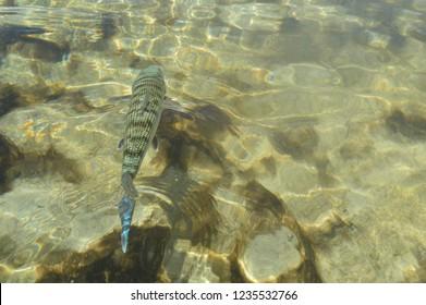 Bonefish in Turneffe atoll, Belize