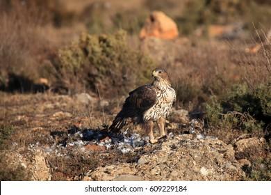 The Bonelli's eagle (Aquila fasciata), female sitting on the rock. A large eagle from the Spanish mountains where it ate prey.