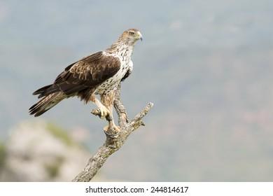 Bonelli's Eagle (Aquila fasciata) perched on a branch.