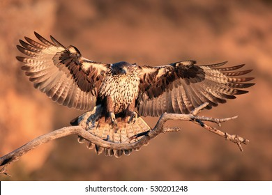 The Bonelli's eagle (Aquila fasciata) young female lands on a dry branch with orange rocks as a background. A large eagle in flight in the morning orange light.