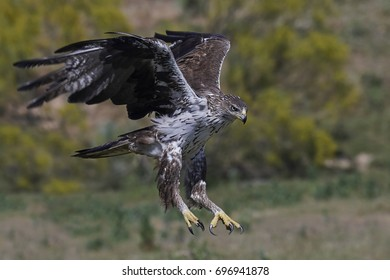 Bonellis eagle in flight with vegetation in the background