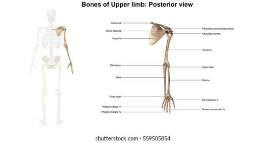 Bones of the upper limb 3d illustration