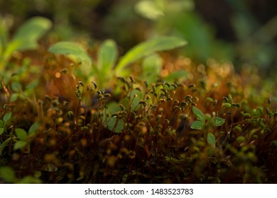 Bonfire moss or common cord-moss, a pioneer specie of burned ground or forest fire areas .Green moss in the forest, Macro image and lovely bokeh lights on the background