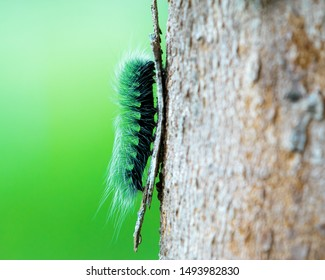 Bong worm A green-haired caterpillar, a large hairy tree on a brown tree.Tree worm
