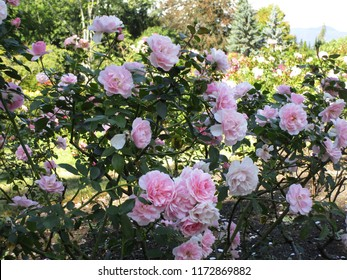 Bonica Roses at Stanley Park Rose Garden, September 2018