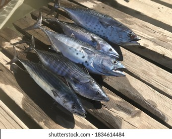 Bonito and Tuna fish on wooden pier. Fresh fishes. Fishing in sea.