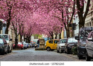 BONN -  APRIL 27: Rows of cherry blossom trees in full bloom on Heerstrasse (cherry blossom avenue) in Bonn, Germany on April 27, 2013