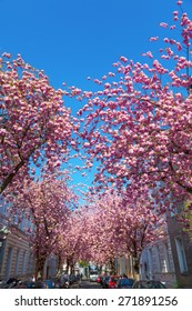 BONN, GERMANY - APRIL 21, 2015: street with cherry blossom in the old town of Bonn with unidentified people. Under the famous alleys with cherry blossom, the streets in Bonn are on 10th position