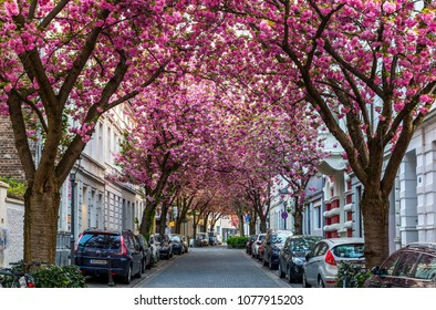 BONN, GERMANY - APRIL 21, 2018: Breitestrasse or Cherry Blossom Avenue