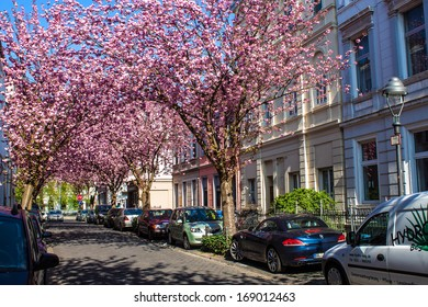 BONN, GERMANY - APRIL 24: Rows of cherry blossom trees on Heerstrasse in Bonn, Germany on April 24, 2013. Bonn is former capital of Germany with population of 330,000.