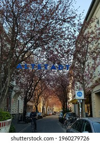 BONN, GERMANY - Mar 25, 2020: Beautiful cherry blossom street in Bonn, Altstadt, Germany, without crowd  Mesmerizing view of a tunnel of cherry blossoms in full bloom