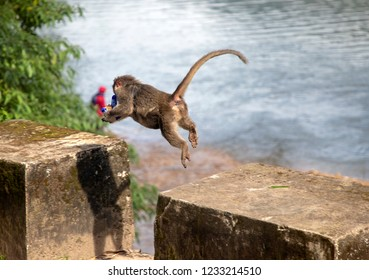 A Bonnet Macaque monkey with her offspring, seen near the Mattupetty Dam in southern India, takes sanctuary on a stone plinth to eat a packet of stolen biscuits.