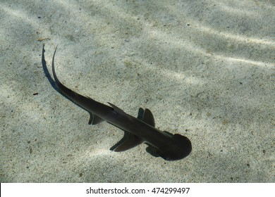 The bonnethead shark or shovelhead is a small member of the hammerhead shark genus Sphyrna.