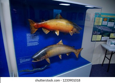 BONNEVILLE DAM , OREGON - JUN 24, 2018 - Life-sized models of Columbia River  salmon and other fish at Bonneville Dam on the Columbia River in  Oregon