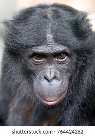 Bonobo close-up portrait