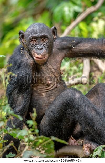 Bonobo in green tropical jungle. Green natural background . The Bonobo, Scientific name: Pan paniscus. Democratic Republic of Congo. Africa