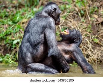 Bonobo in natural habitat. Bonobo mating in the pond. The Bonobo ( Pan paniscus),  pygmy chimpanzee and less often, the dwarf or gracile chimpanzee. Democratic Republic of Congo. Africa