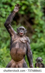 The Bonobo ( Pan paniscus) mother with cub standing on her legs and hand up. Short distance, close up. Democratic Republic of Congo. Africa
