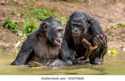 Bonobo in the water. he Bonobo ( Pan paniscus), called the pygmy chimpanzee. Democratic Republic of Congo. Africa