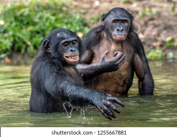 Bonobo in the water. The Bonobo ( Pan paniscus), called the pygmy chimpanzee. Democratic Republic of Congo. Africa