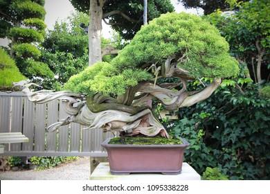 "Bonsai art ""Dancing Dragon"" in japanese garden style"