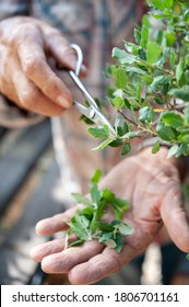 Bonsai artist takes care of his Quercus suber tree, pruning leaves and branches with professional shears.
