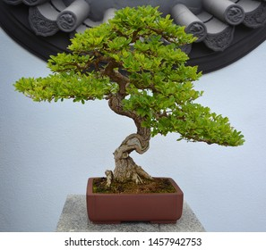 Bonsai. It is an Asian art form using cultivation techniques to produce small trees in containers that mimic the shape and scale of full size trees