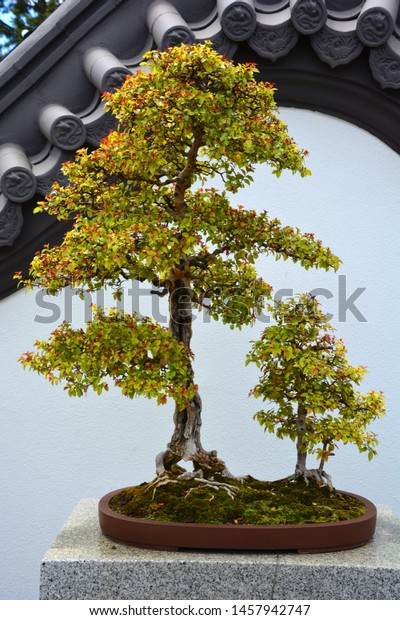 art form using small trees Bonsai Asian Art Form Using Cultivation Stock Photo (Edit Now
