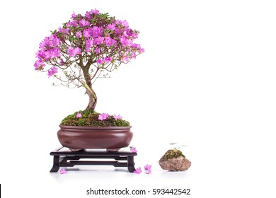 Bonsai Azalea japonica on a white background