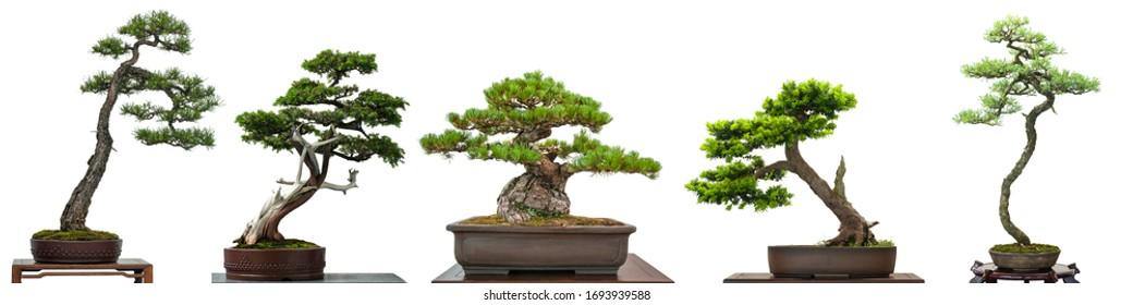 Bonsai-Nadelbäume aus Japan, weiß einzeln