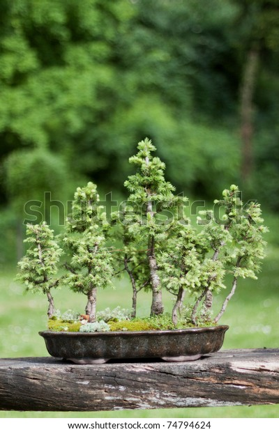 Bonsai Forest Norway Spruce Trees Picea Stock Photo Edit Now 74794624