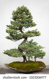 Bonsai Jaoanese miniture trees