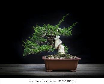 Bonsai Japan twist trunk