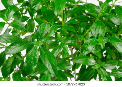 bonsai leafs, serissa foetida