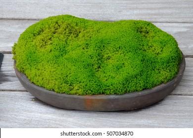 Bonsai of moss