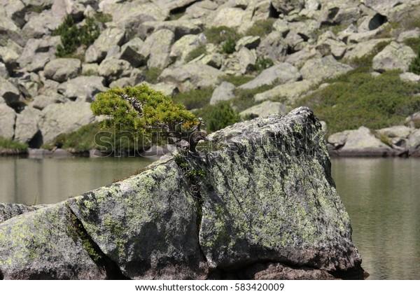Bonsai of mountain pine in Pyrenees, Pinus uncinata
