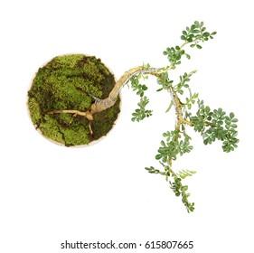 bonsai plant in basket pot  on  white