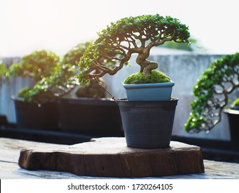 Bonsai Premna Taiwan on old natural wooden,Small Bonsai tree is an art and wonderful way to relax after a hard days work which is a popular hobby. Bonsai Gardening Concept.