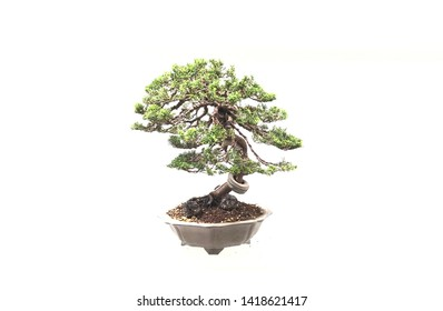Bonsai for show in white room