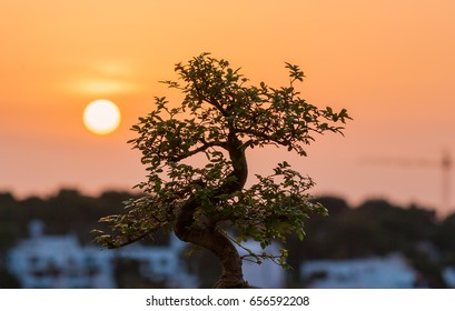 Bonsai and sunset. Harmony and peace as concept